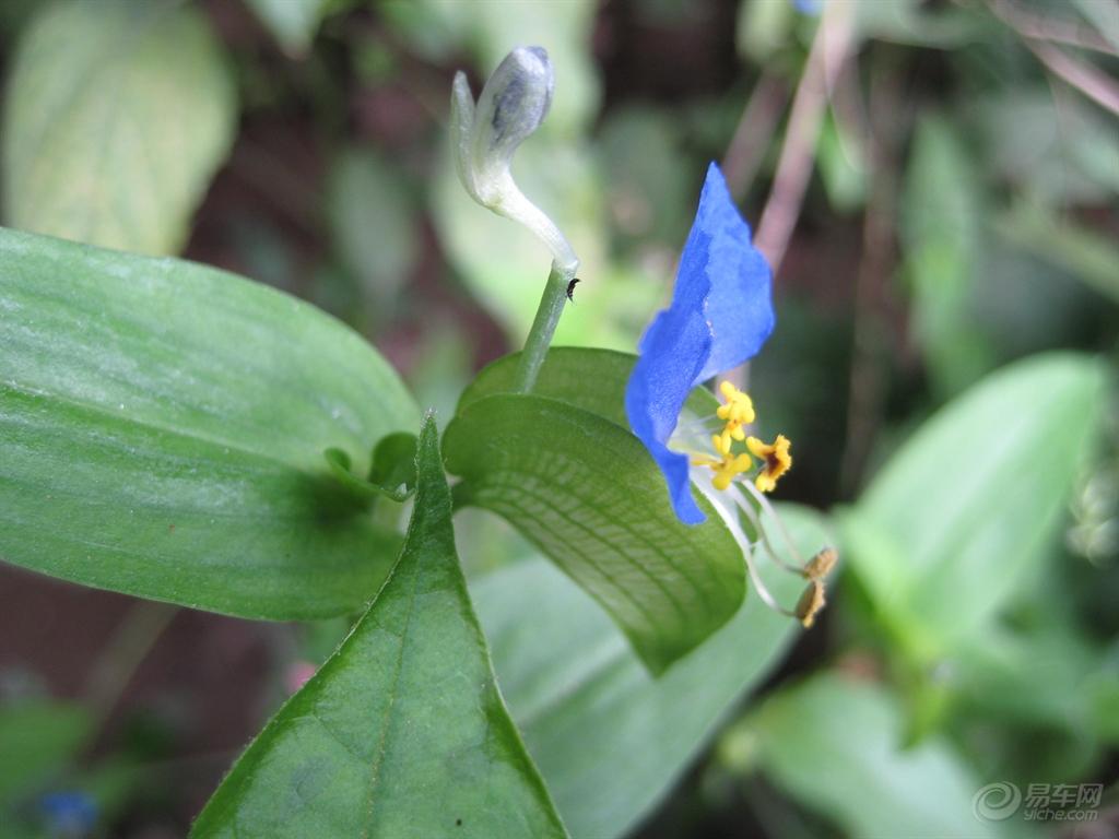 双子叶植物.图片