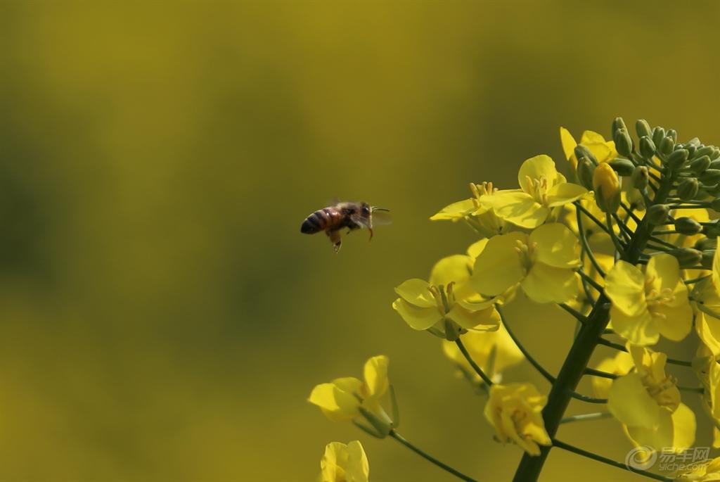 小蜜蜂采蜜忙 -安徽车友会图片