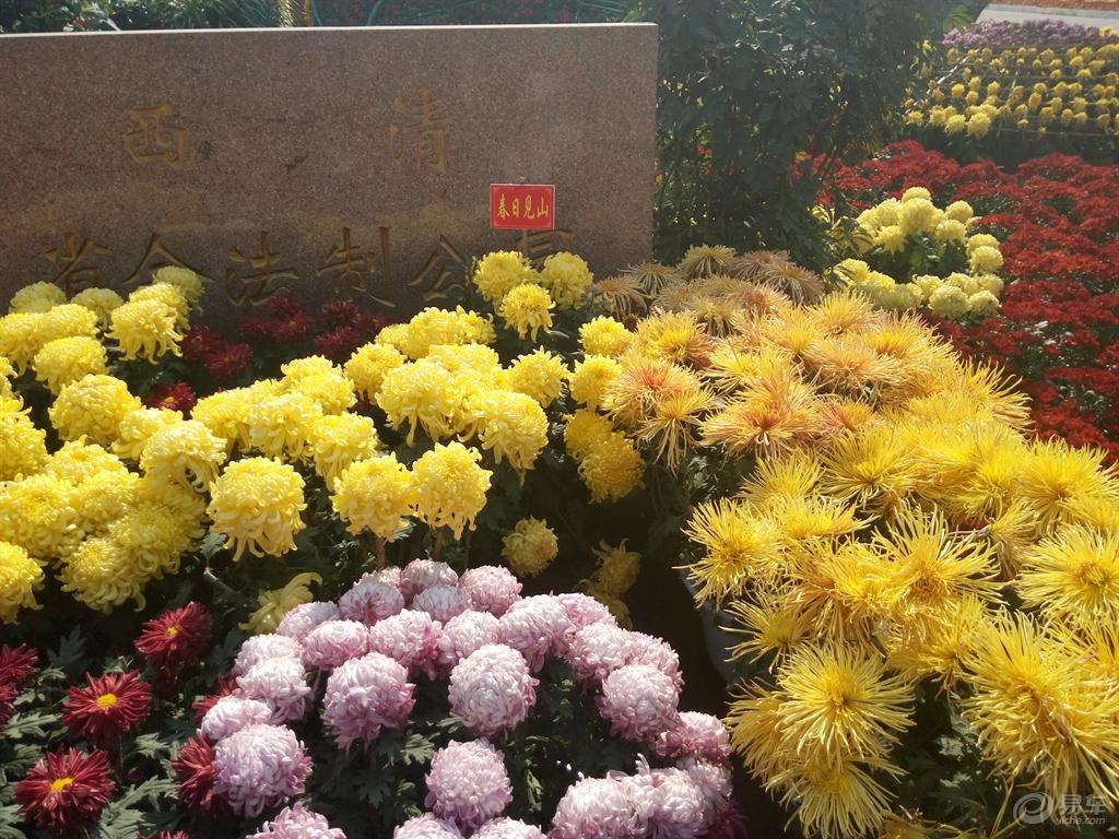 序的花盆组成了一个大花坛.   五 红黄白三色菊花组成的半圆好似早
