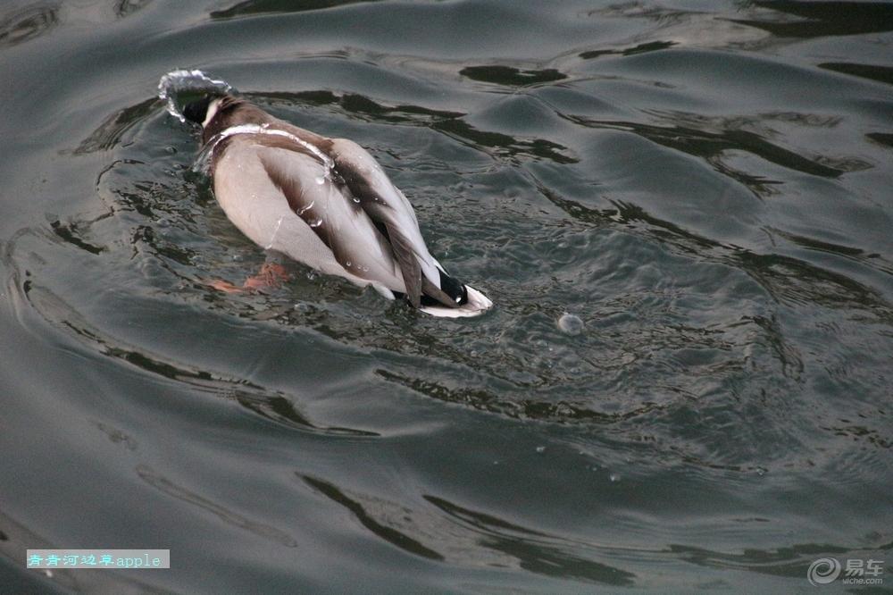 鸭子水中游 -宠物当家论坛