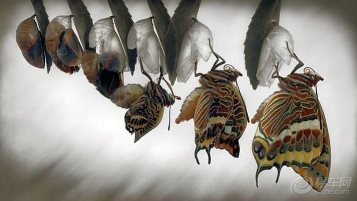 中评社北京12月3日电/西班牙卡隆赫52岁的男艺术家吉米霍夫曼在自己家中耐心等待5个小时,拍摄了五颜六色的双尾帕夏蝴蝶(two-tailedpashabutterfly)破茧成蝶的全过程。吉米拍摄出的照片生动形象,扣人心弦,让人叹为观止。科技世界报道,吉米在自家院子的草莓树上发现了在地中海附近常见的双尾帕夏蝴蝶的蛹后,便将蛹放置到一个容器中带回屋内,以方便自己观察。在最开始的两个星期,蝴蝶蛹开始慢慢变暗,而里面蝴蝶的身体和翅膀却逐渐变得清晰。吉米确定蝴蝶就要出现的时候,便紧锣密鼓地准备好了摄影设备随时等待
