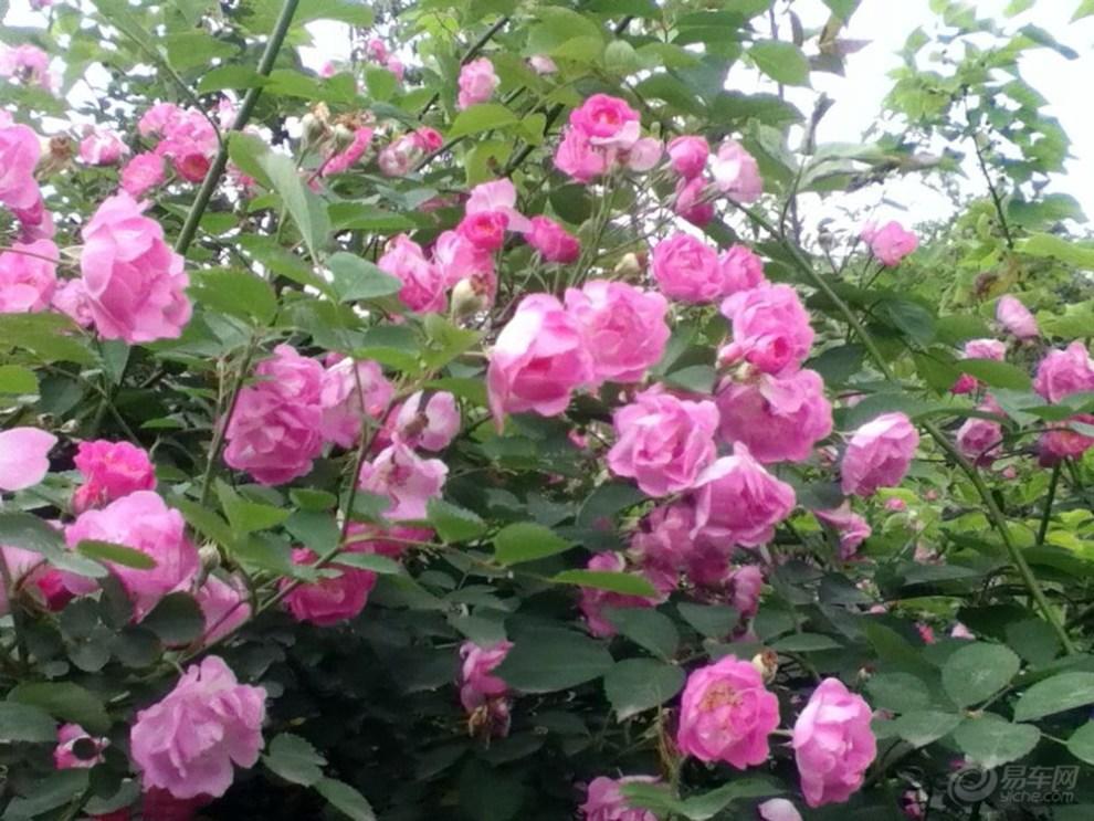 【【首发】鄯善图纸里的野玫瑰花】_北湖公园论坛风风银电重庆基础图片