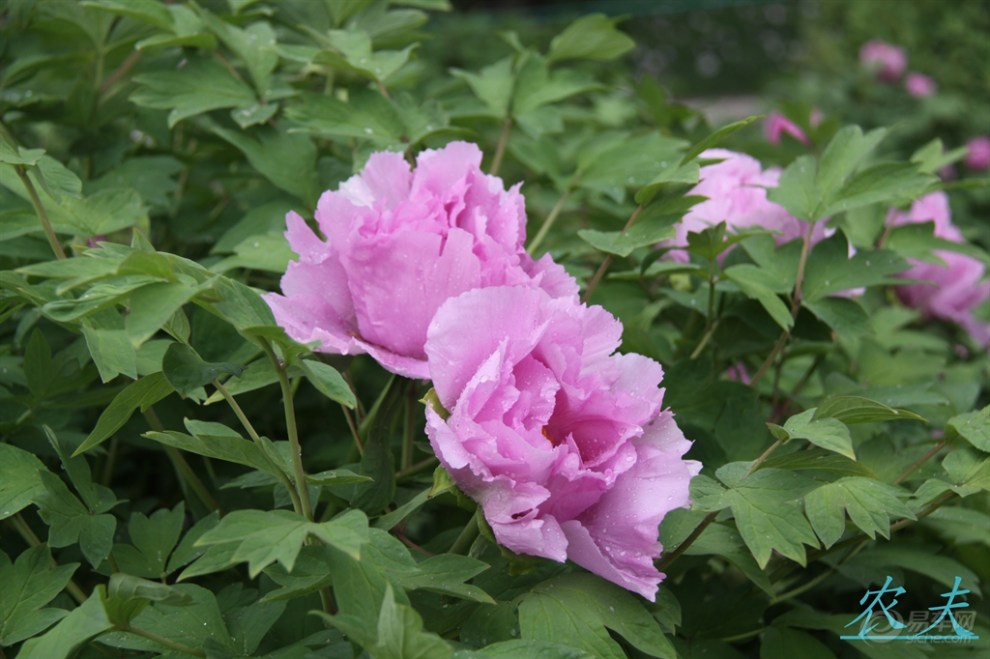 【【农夫视界】朵朵花相近,花姿各不同】_河南