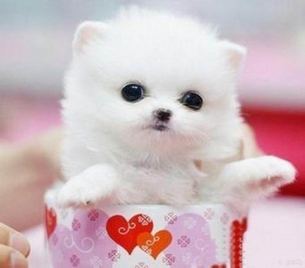 【cd】【转】世界上最小的狗狗----茶杯犬!