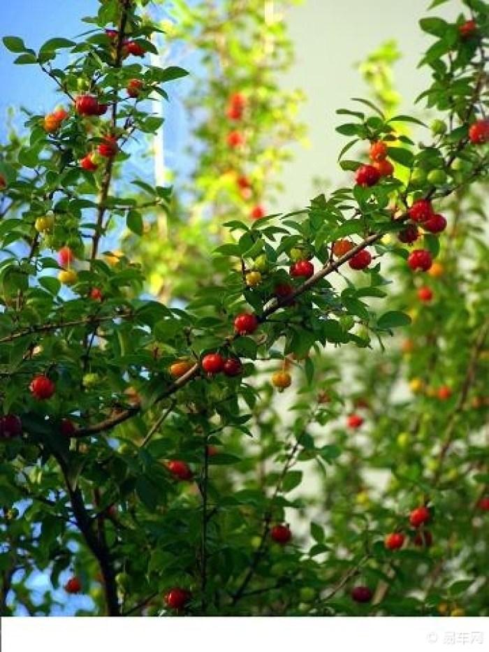 棱果蒲桃(红果仔),桃金娘科蒲桃属常绿灌木或小乔木
