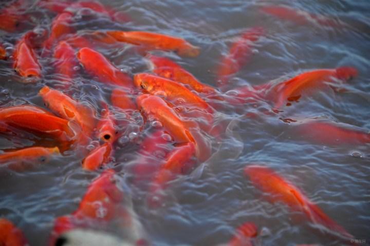 池塘里的观赏红鱼