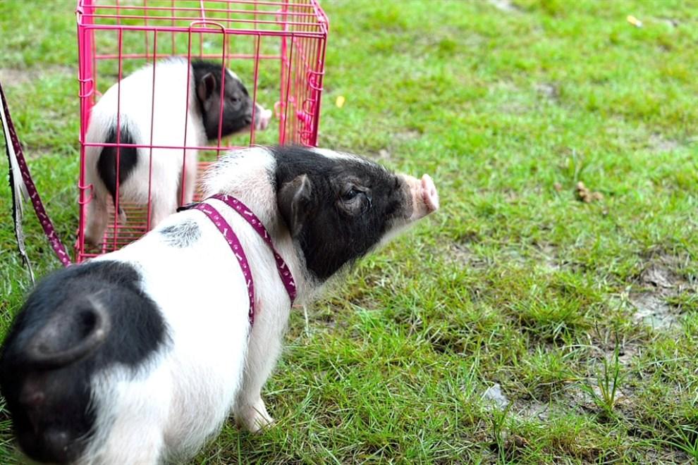 【家有大明星】可爱的宠物猪
