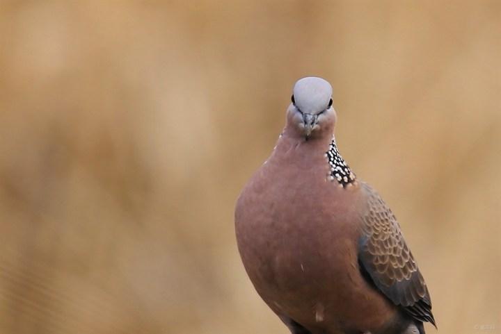 斑鸠脖套制作图解