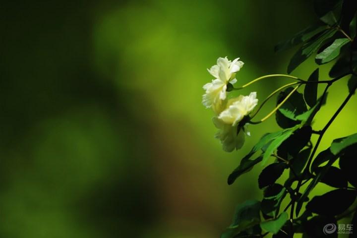 白色蔷薇花