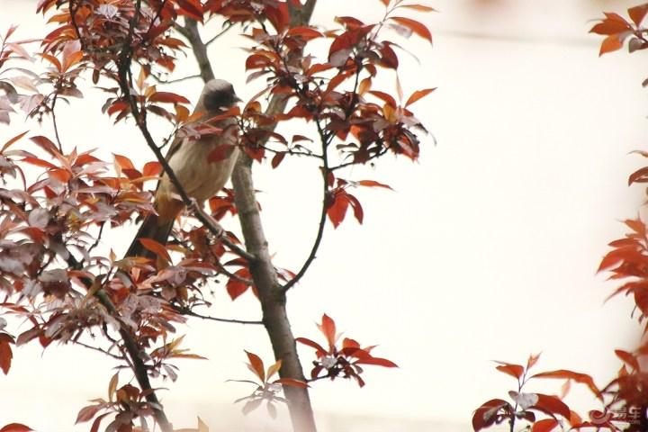 李树上赭红尾鸲