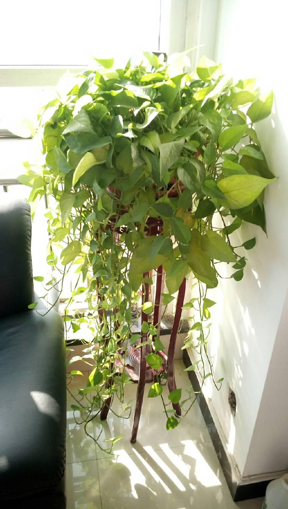 綠蘿怎么剪枝種植圖解