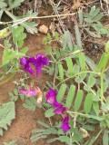 悬泉山上的芍药花(二)