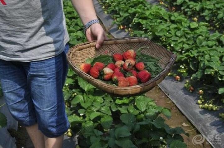 季节到,可以摘草莓了