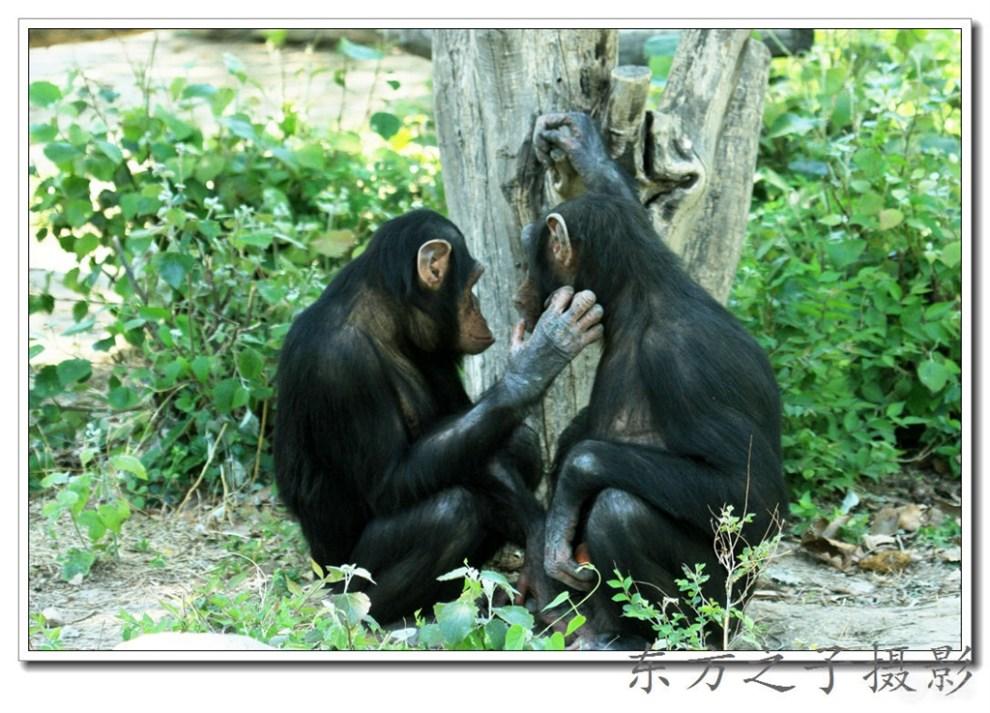 《天津动物园——秀恩爱的大黑猩猩》