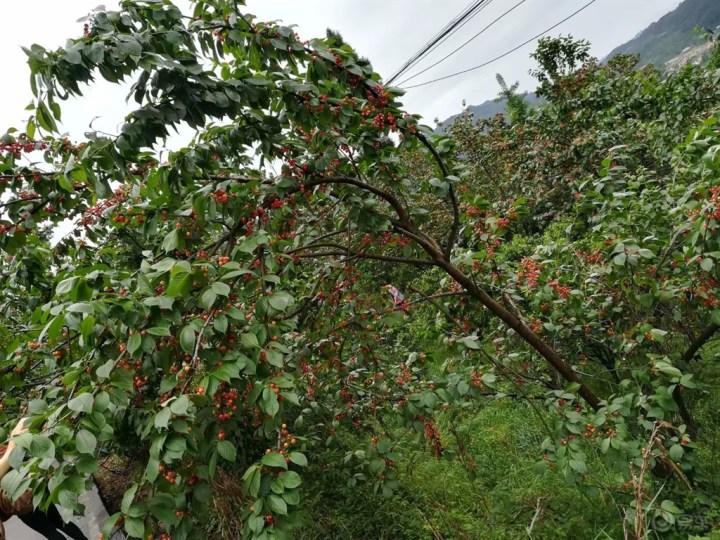 不辜负这个季节——樱桃山走起