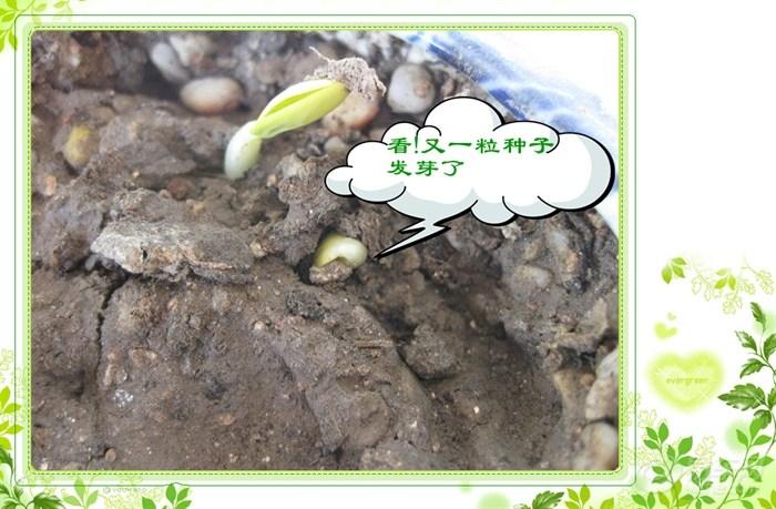 【春天来了,种子发芽了(5.25继续更新)。】_天