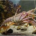 龙虾小点点